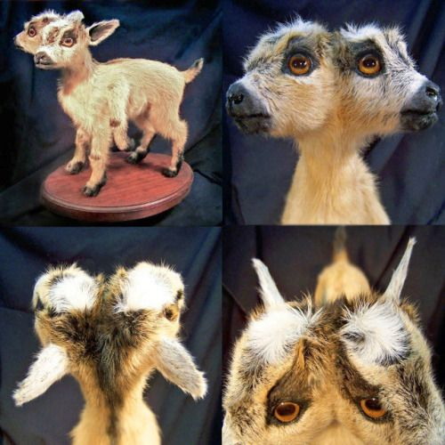 ©2005 www.Sarina-Brewer.com. Sculpture by artist Sarina Brewer,  Taxidermy art movement co-founder and pioneer. See the work that was the catalyst for the movement at https://www.facebook.com/Rogue.Taxidermy.Art/ #Rogue #Taxidermy #Art #Two #Headed #Freak #Goat