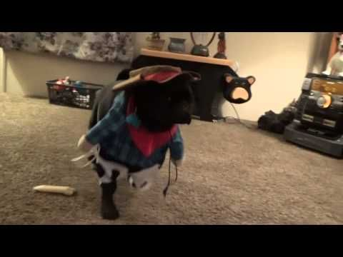 COW PUG BABY THE COOLEST DOG AROUND - YouTube This cowboy will make you laugh your butt off.