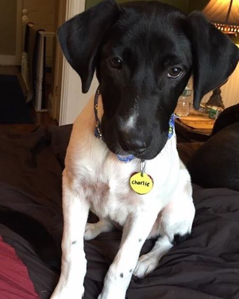 Who is black and white and cute all over?? Well it's Charlie of course! Charlie is a 4 month old 25 pound lab mix and he is as sweet as they come! If you want to adopt the perfect combination of sweet and cute apply to adopt at http://ift.tt/1vS2A9I today!  #puppiesofinstagram #puppiesofinsta #adoptapuppy #puppylove #puppy #adopt #adoptme #adoptdontshop #adoptdontbuy #labmix #labsofinstagram #lab #rescue #rescuedisthebestbreed #rescuedismyfavoritebreed