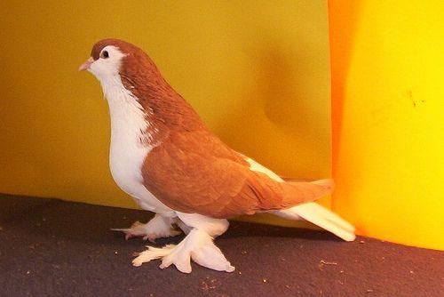Yellow Lahore pigeon