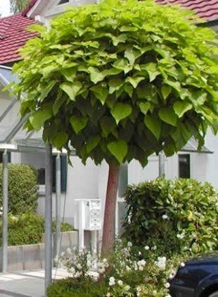 Für den Vorgarten: Catalpa nana