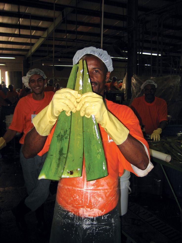Forever Living Products : récolte des feuilles à la main