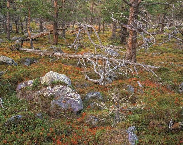 Lapland Forest
