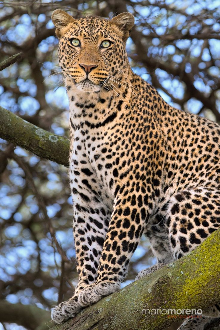 Best 25 Leopards ideas on Pinterest Leopard animal Leopard cat