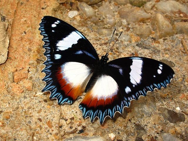 Madagascar Diadem (Hypolymnas dexithea), by rowe_becky via Flickr