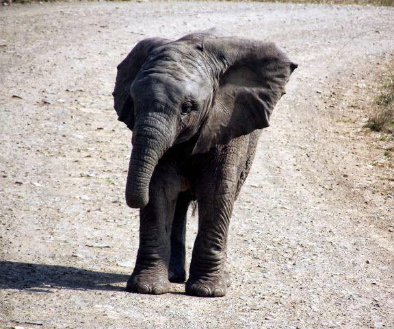 Baby Elephant at Hluhluwe Imfolozi Game Reserve - Country & Coastal Touring
