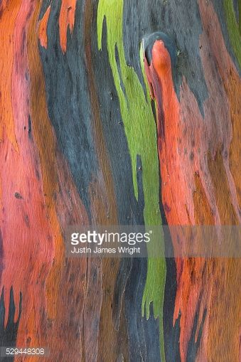 Photo : Abstract of a colourful Eucalyptus Tree Trunk, Makati City, Philippines