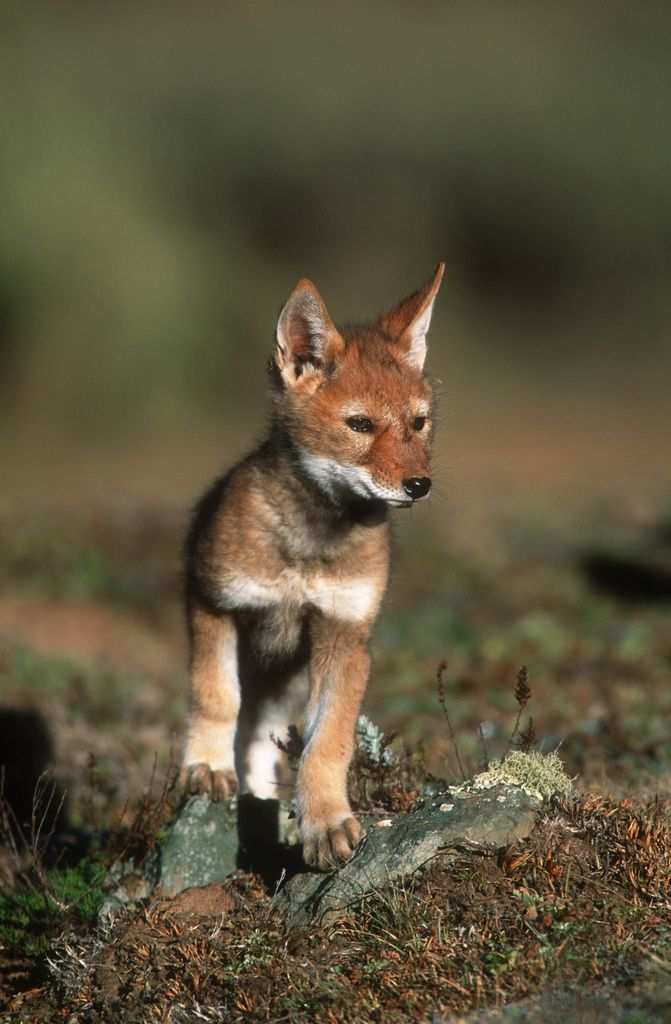 An Ethiopian wolf  in the Bale Mountains of the Ethiopian Highlands. (Photographed in 2003 by Martin Harvey).