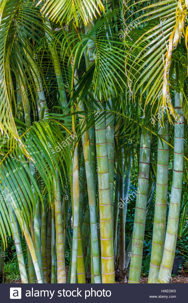 Best 25 bamboo palm ideas on pinterest palm house for Areca palm safe for cats