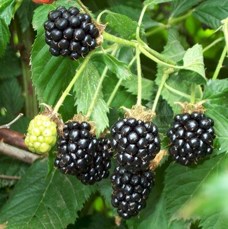 Blackberries - The leaves and root can be used as an effective treatment against dysentery and diarrhea as well as serving usefulness as an anti-inflammatory and astringent. Ideal for treating cuts and inflammation in the mouth.