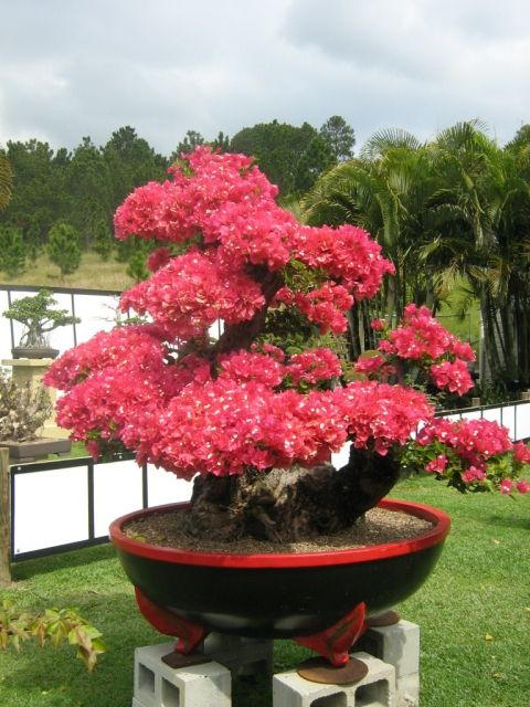 Red Dragon Bonsai
