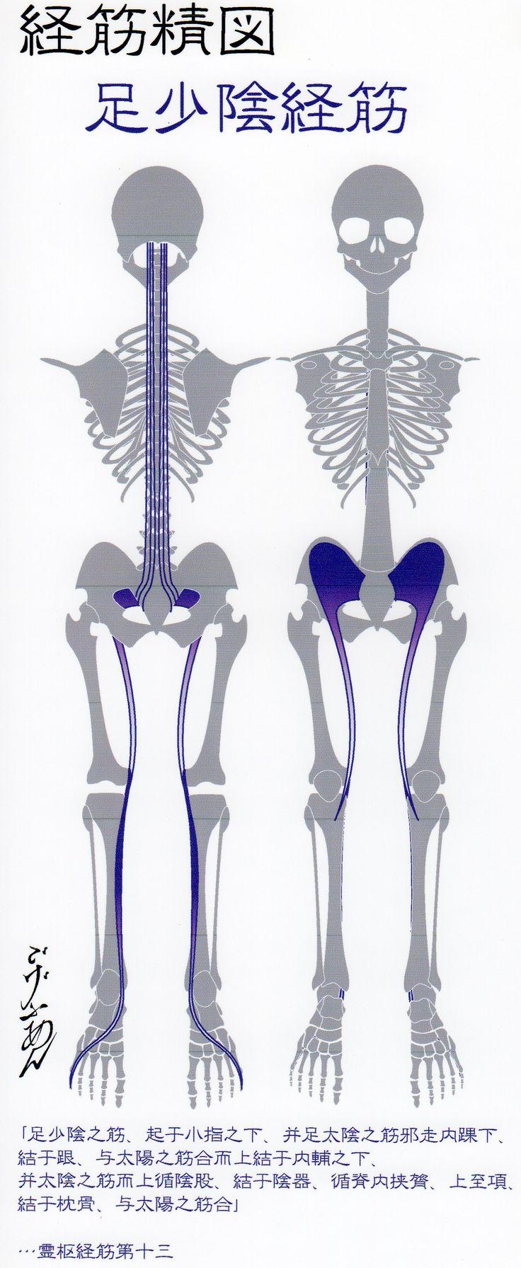 足少陰経筋(Ver2014) -Muscle meridian, Zu shaoyin(Ver2014)-