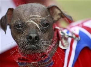 Mugly won this year's World's Ugliest Dog Contest in Petaluma, California, yesterday.