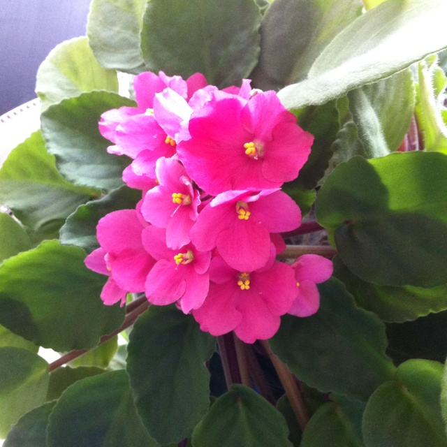 62 best african violets at home images on pinterest for Violet home