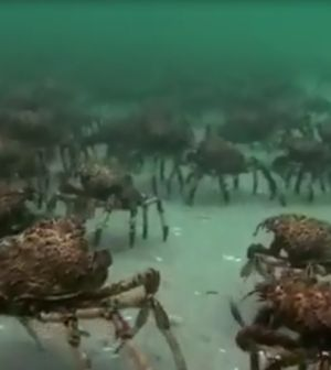 FIGHT! Watch What Happens When An Army Of Spider Crabs Take On A Stingray! #omg #wow #wtf #marinelife #sealife