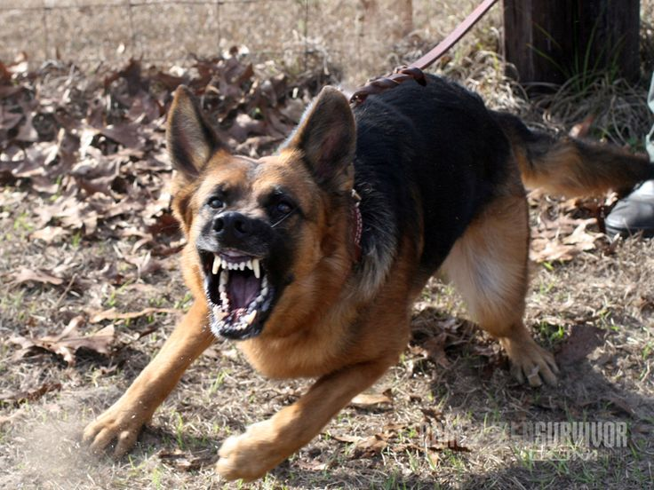 how to train an older dog not to be aggressive