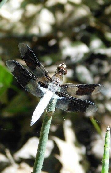 ~ Dragonfly ~