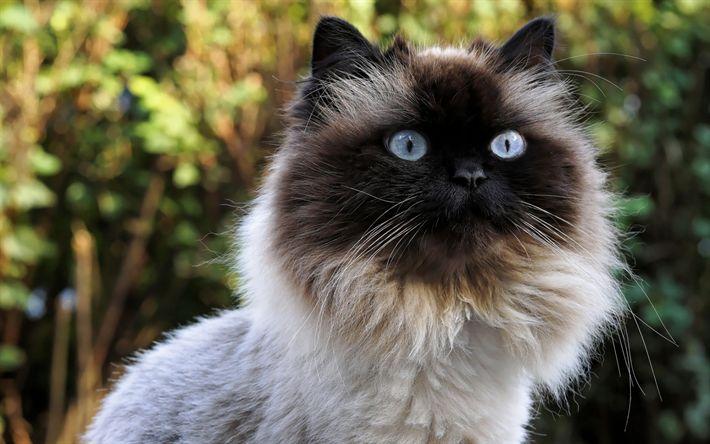 Download wallpapers Burmese cat, furry cat, portrait, breeds of cats, pets