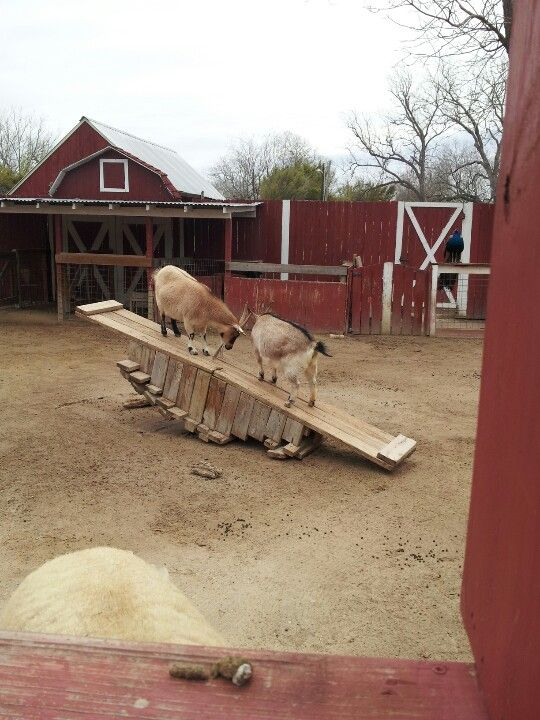 Goats on a see-saw :D (my own picture by the way)