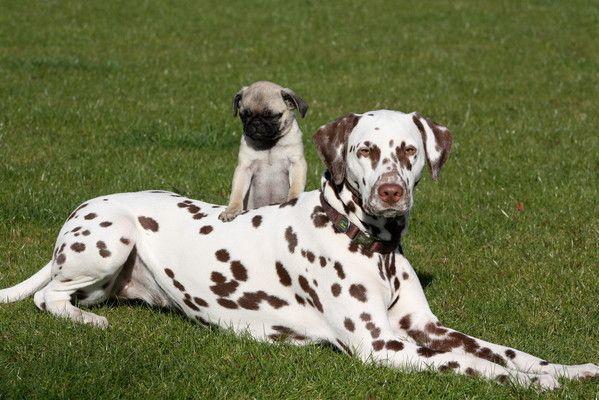 Impressionen - Happy Pugs Mopszucht Mops Züchter Mops altdeutsch