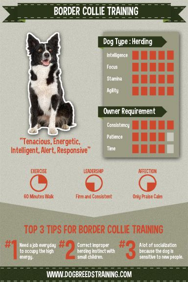 Border Collie training infographic. Read more on my website http://www.dogbreedstraining.com/breeds/border-collie-training/