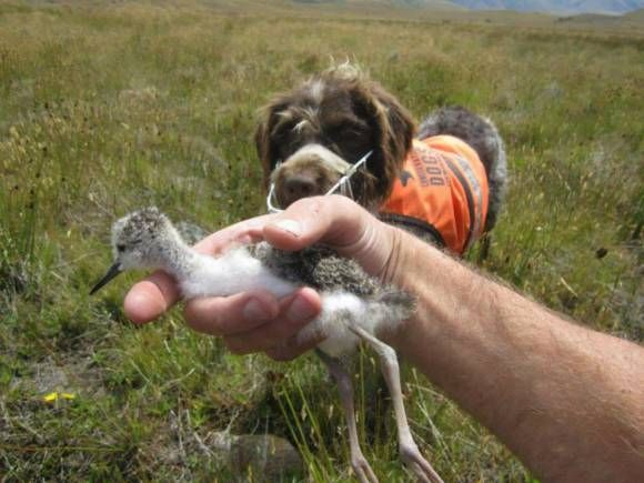 Kakī chick found thanks to Jazz the conservation dog.