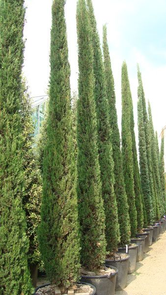Italian Cypress Tree or Cupressus Sempervirens, for sale at Mediterranean Tree Nursery, London UK