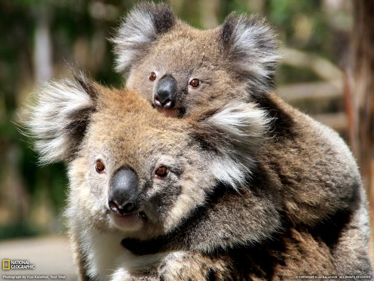 116 best Panda and Koala Bears images on Pinterest  Baby pandas