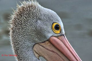 Passion for nature, wildlife, Photography.: Lone Pelican on the Cairns esplanade.