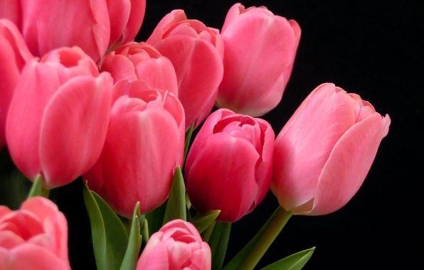Обои картинки фото тюльпаны, розовые, на темном фоне