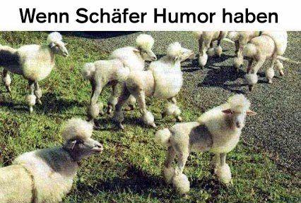 Schafe? Pudel? Schafspudel ! - Schaf Sheep Mouton Pecora *