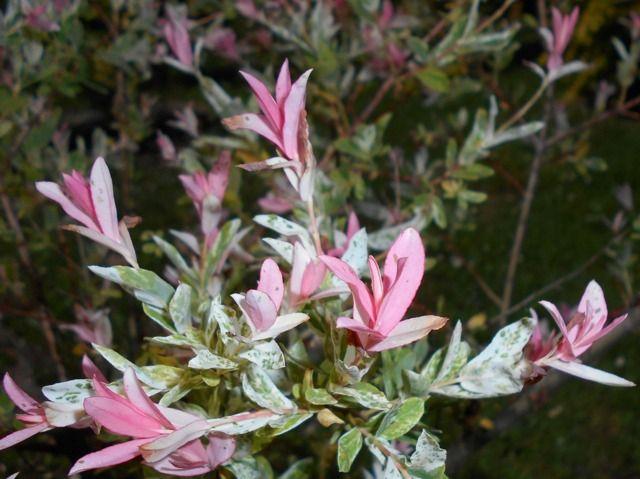 Les 25 meilleures id es de la cat gorie saule crevette sur pinterest salix arbustes fleurs - Ou planter un laurier rose ...