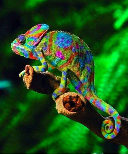 inspiring colourful chameleon