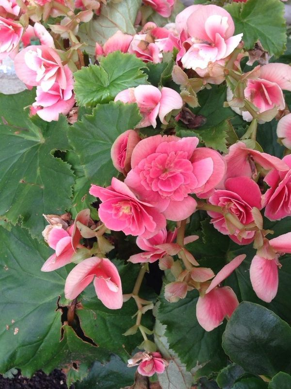 Reiger Begonia Begonia Heimalis Widely Sold As Potted Flowering Plants This Makes A Great Patio Plant This Plant Com Flower Pots Flowers Planting Flowers