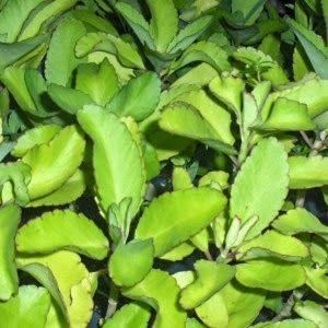 Mania de Verde: Saião, uma planta multifuncional