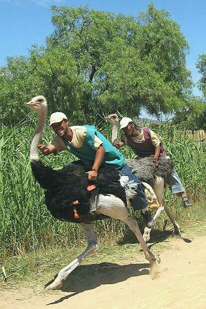 Ostrich racing ~~ The ostrich is the largest and heaviest bird in the world: adult males can grow up to two and a half meters tall ...