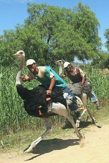 Ostrich racing