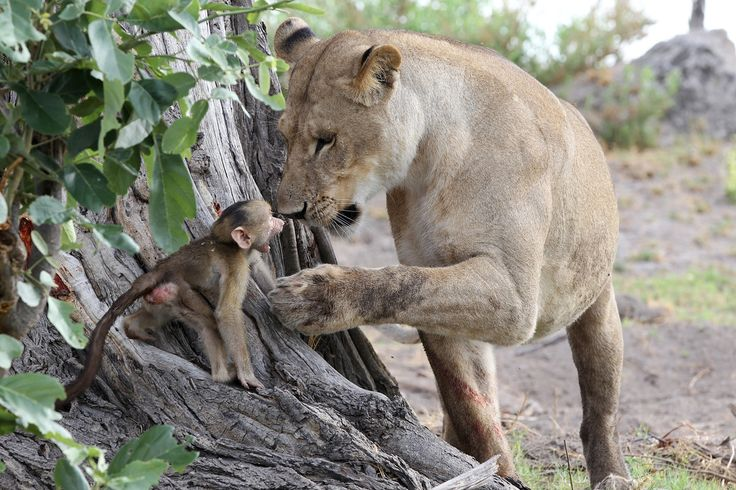 Lioness Has Incredible Interaction With Baby Baboon During Gripping Animal Encounter (PHOTOS)
