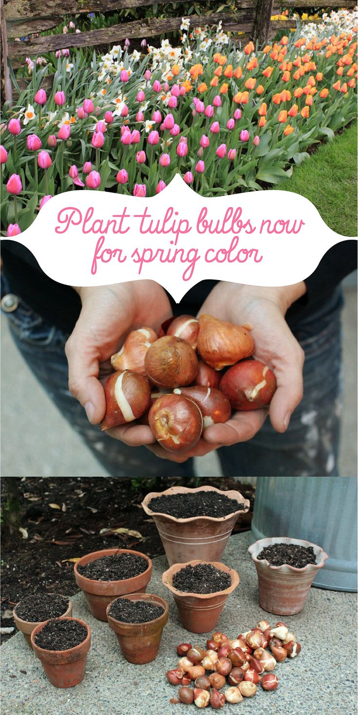 You need to plant tulip bulbs NOW if you want them for spring! http://www.ehow.com/ehow-home/blog/plant-tulip-bulbs-now-for-spring-color/?utm_source=pinterest&utm_medium=fanpage&utm_content=blog