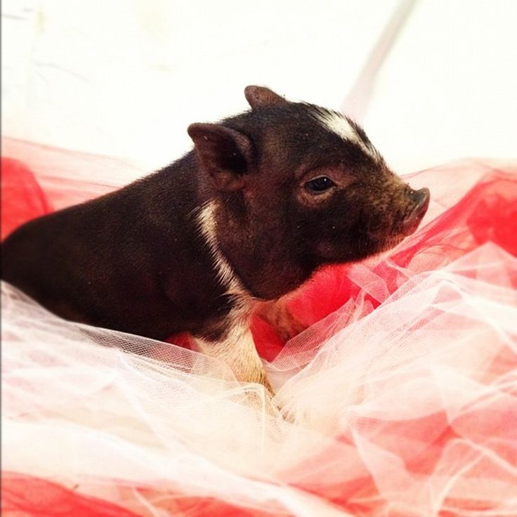 Best Mini Pigs For Sale Ideas On Pinterest Pet Pigs For Sale - Adorable pig whos grown up with dogs believes shes a puppy too