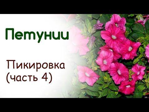 Посадка и выращивание петуний. Пикировка (часть 4) - YouTube