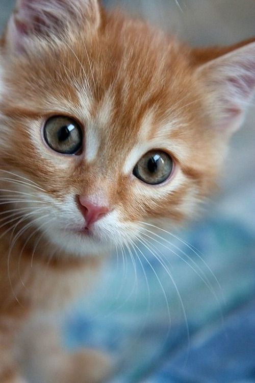 Orange Tabby Kitten --- Just Precious!