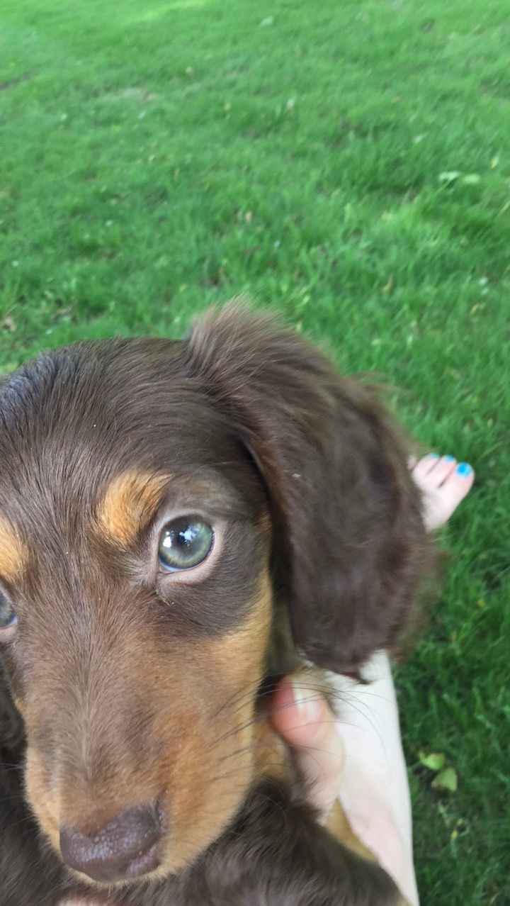Chocolate And Tan Long Haired Dachshund Puppy Green Eyes Long