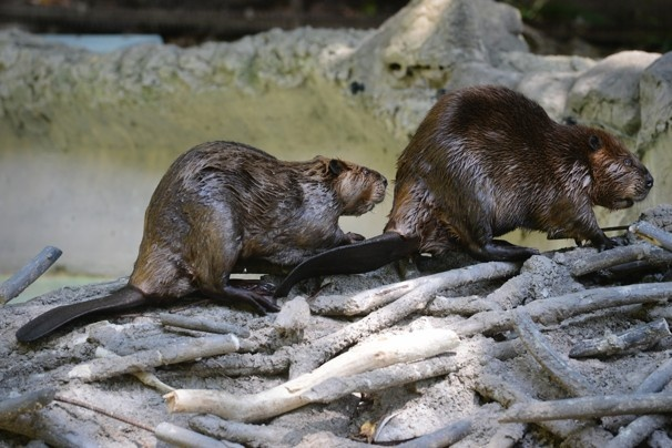 North American Beavers at the National Zoo