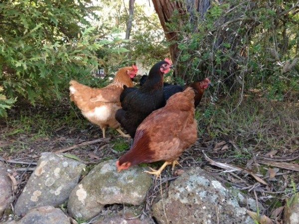 some of Yummy Gardens Melbourne cross breed chooks