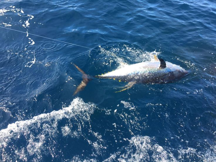 A big fight from a big fish #yellowfintuna #tightlines and #bentrods #fishon