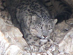 There are up to 6,000 snow leopards in the wild across 12 countries, but its numbers are gradually declining, with hunting and habitat loss just some of the reasons that it is endangered.