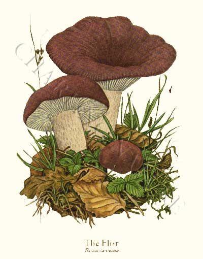 'The Flirt' restored antique mushroom illustration - via Charting Nature