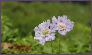 Common name: Caucasian pincushion flower, Caucasian scabious. Scientific name: Scabiosa caucasica. Family: Dipsacaceae. Genus: Scabiosa. Plant type: Perennials. Height: 36-48 in. (90-120 cm). Flower colour: lavender-blue. Flowering period: July to September.