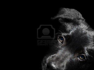 Australian dog breed young black Kelpie  puppy innocent and cute looking pup portrait over black Stock Photo - 8041381